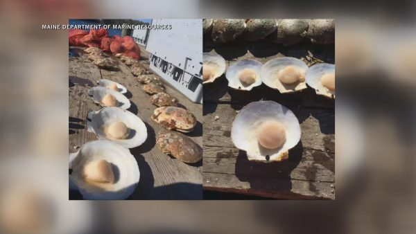 Maine Department of Marine Resources host virtual scallop meeting