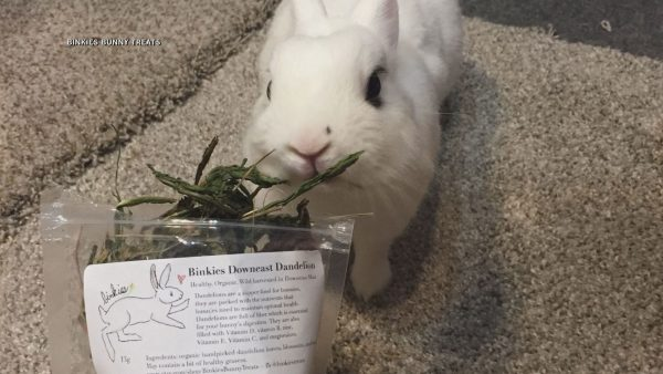 Machias 15-year-old turns passion into 'hopping' bunny treat business