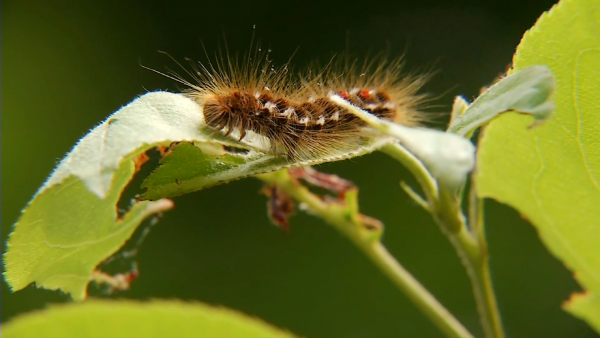 Browntail moth population expected to increase