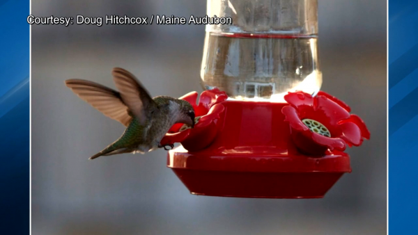 Hummingbird season arriving